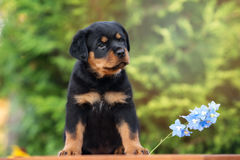 Adorable rottweiler puppy outdoors Royalty Free Stock Photography