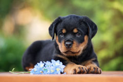 Adorable rottweiler puppy outdoors Royalty Free Stock Images