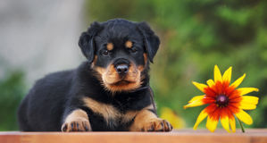 Adorable rottweiler puppy outdoors Stock Image