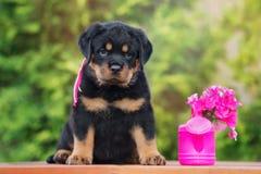 Adorable rottweiler puppy outdoors Stock Photos