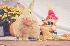 Adorable Rufus colored rabbit stands among fall decorations Stock Photography