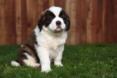Adorable Saint Bernard Pup Royalty Free Stock Image