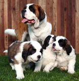 Adorable Saint Bernard Pups Royalty Free Stock Photography