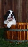 Adorable Saint Bernard Pups Royalty Free Stock Image