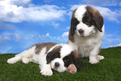 Adorable Saint Bernard Pups Stock Photo