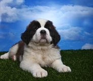 Adorable Saint Bernard Pups Stock Images