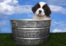 Adorable Saint Bernard Pups Stock Photo