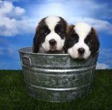 Adorable Saint Bernard Pups Royalty Free Stock Images