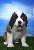 Adorable Saint Bernard Pups Royalty Free Stock Photography