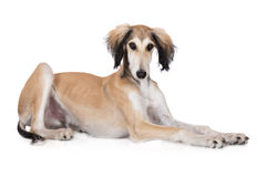 Adorable saluki dog lying down Stock Photos