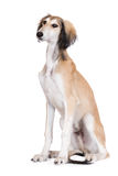 Adorable saluki dog sitting on white Stock Image