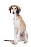 Adorable saluki puppy sitting on white Stock Image