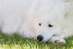 Adorable samoyed puppy Royalty Free Stock Image