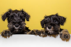 Adorable schnauzer puppies stock photography