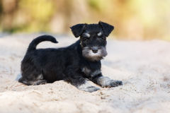 Adorable schnauzer puppy outdoors. Black and silver schnauzer puppy outdoors Stock Photo