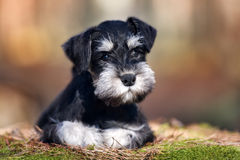 Adorable schnauzer puppy outdoors Stock Photo