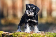 Adorable schnauzer puppy outdoors Royalty Free Stock Photo