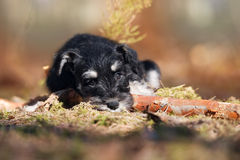 Adorable schnauzer puppy outdoors Royalty Free Stock Images