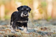 Adorable schnauzer puppy outdoors Stock Images