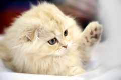 Adorable Scottish fold kitten close-up Stock Images