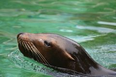 Adorable Sea Lion Head Peaking Out of the Water. Adorable Sea Lion Poking Out of the Water Stock Photography