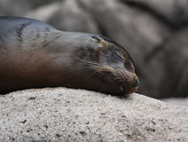 Adorable Sea Lion Head Peaking Out of the Water Stock Photography
