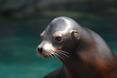 Adorable Sea Lion Pup Out of the Water Stock Photo