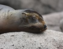 Adorable Little Sea Lion Sleeping on top of a Rock. Adorable Sea Lion Relaxing on Top of a Rock Royalty Free Stock Images