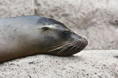 Adorable Sea Lion on a Rock with Closed Eyes. Adorable Sea Lion Head Sleeping on a Rock Royalty Free Stock Photography