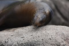 Adorable Sea Lion Getting Rubbed from a Rock. Adorable Sea Lion Rubbing its Head on a Rock Royalty Free Stock Photography