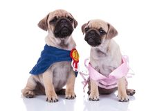 Adorable seated pug couple looking in different directions. While dressed for halloween, sitting on white background Royalty Free Stock Photo