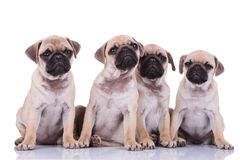 Adorable seated pug group looking up and making puppy eyes. Adorable seated pug group of four looking up and making puppy eyes on white background Royalty Free Stock Photo