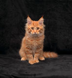 Adorable serious red solid maine coon kitten sitting with beauti Stock Photos