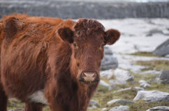 Adorable Shaggy Brown Cow in Ireland Stock Photography