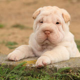 Adorable Shar Pei puppy in the garden Stock Photos
