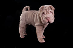 Adorable sharpei puppy, looking at camera Royalty Free Stock Photography