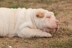 Adorable sharpei puppy lying
