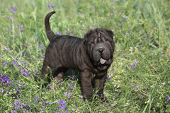 Adorable sharpei with purple flowers Royalty Free Stock Images