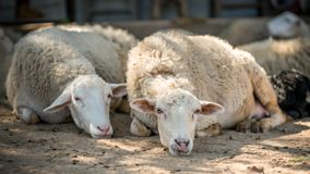 Adorable Sheep Taking A Nap royalty free stock images