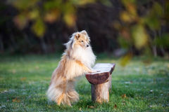Adorable sheltie dog outdoors in autumn Stock Image