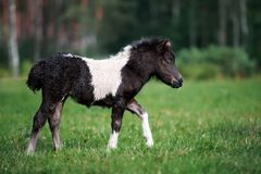 Adorable shetland pony foal outdoors in summer Stock Photo
