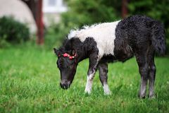 Adorable shetland pony foal outdoors in summer Royalty Free Stock Photos