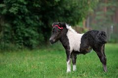 Adorable shetland pony foal outdoors in summer Royalty Free Stock Image