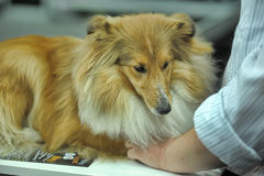 Adorable Shetland sheepdog. This breed is also known as sheltie. Stock Photos