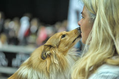 Adorable Shetland sheepdog. This breed is also known as sheltie. Royalty Free Stock Image