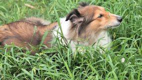 Adorable shetland sheepdog lying on grass and eating green grass in hot summer day, funny animal concept, 4k footage, slow motion stock video footage