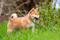 Adorable shiba-inu puppy standing outdoors Royalty Free Stock Photography