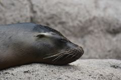 Adorable Sea Lion With Cute Little Ears. Adorable Shiny Sea Lion with Cute Little Ears Royalty Free Stock Photography