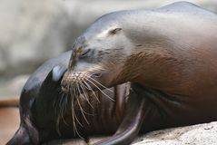 Adorable Shiny Sea Lion Laying on a Rock. Adorable Shiny Sea Lion Relaxing on a Rock Royalty Free Stock Image