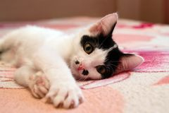 Adorable short haired black and white kitten lying on a bed royalty free stock photo